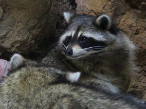 CuriOdyssey zoo: raccoons