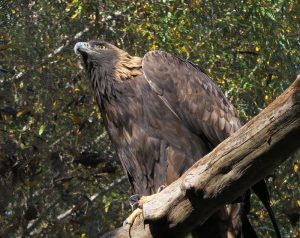 golden eagle at CuriOdyssey zoo