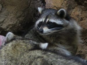 raccoons at CuriOdyssey zoo
