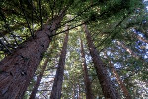 redwood trees at CuriOdyssey
