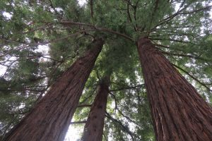 redwood trees at Museum of American Heritage in Palo Alto