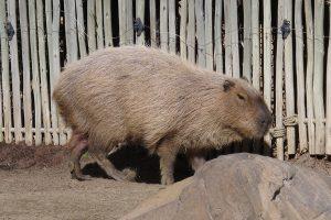 Capybara at Happy Hollow in San Jose