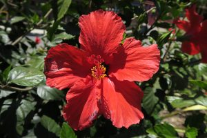 red tropical flower at Happy Hollow in San Jose