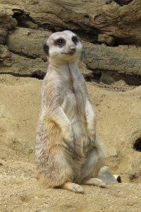 Meerkat at Happy Hollow in San Jose