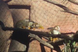 Capuchin monkeys at Happy Hollow in San Jose