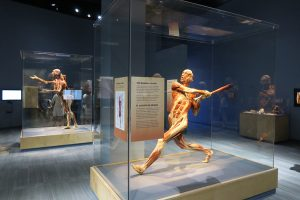 baseball player inside Body Worlds Decoded at The Tech Museum in San Jose