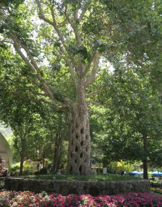 basket tree, one of the circus trees at Gilroy Gardens