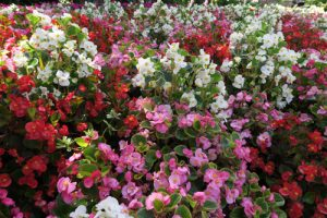 red, pink, white flowers at Gilroy Gardens