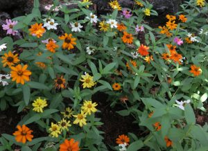 orange, yellow, purple daisies at Gilroy Gardens