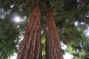 redwood trees at Gilroy Gardens