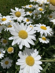 large white daisies with yellow centers outside Ainsley House in Campbell